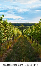 Rows of green vineyards in summer, South Moravian Region, Czech Republic