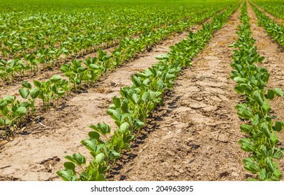 Rows of growing soybean crops