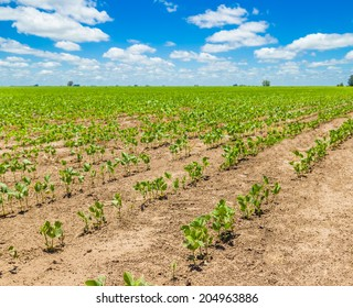 Rows of growing soybean crops under a beautiful blue sky