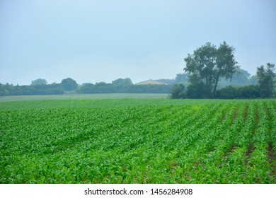Rows of healthy young corn plants in a Midwest farm field under fog and haze with at sky filled with rain clouds in early summer.