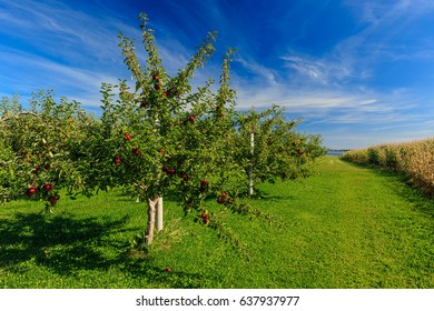 Rows of Honeycrisp apple trees in a commercial apple orchard.