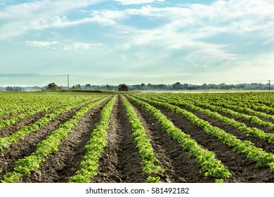 Rows of Idaho potatoes growing in a farm field.