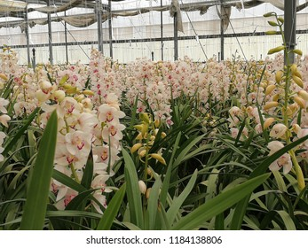 rows of large pink and white clusters of cymbidium orchid flowers in a greenhouse ready for export