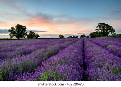 Rows of lavender growing in a field in the Somerset countryside