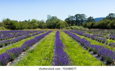 Rows of lavender planted in a field with shrubs, trees and light blue sky in the background. Shallow depth of field.