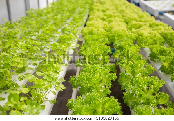 Rows Lettuce Coriander Plants Growing Greenhouse Stock Photo Edit Now 1101029156