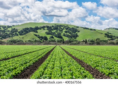"Rows of lettuce crops with background foothills in the Salinas Valley of central California. This area is a hub of agriculture for worldwide distribution and is known as the ""salad bowl"" of the world."