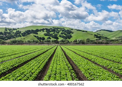 "Rows of lettuce crops with foothills in the fields of Salinas Valley of central California, the agricultural hub for harvest worldwide distribution and known as the ""salad bowl"" of the world."