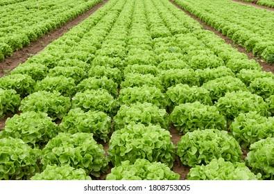 rows of lettuce (eichblatt grün) in field. Germany, Filderstadt.