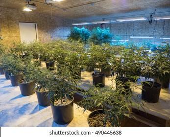 Rows of Medical Marijuana Clones Plants Great for Pain