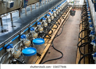 Rows with milking machines on dairy farm