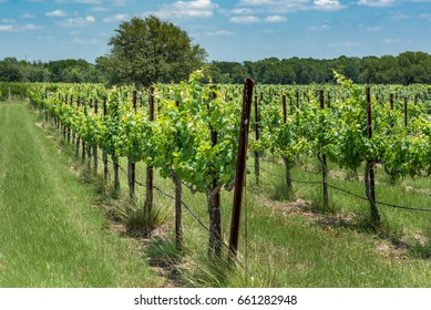 Rows of new grape vines in a Texas hill country vineyard on summer day