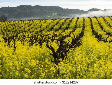 Rows of old fashioned organic grape vines for wine production with yellow mustard cover crop providing soil nutrition, California wine country.