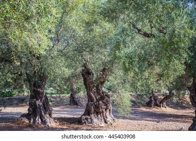 Rows of olive trees in Zakhyntos