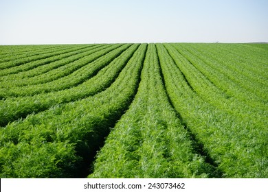 Rows on the carrot field