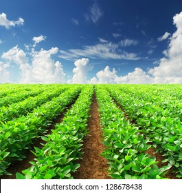 Rows on the field. Agricultural composition