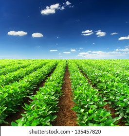 Rows on the field. Agricultural landscape