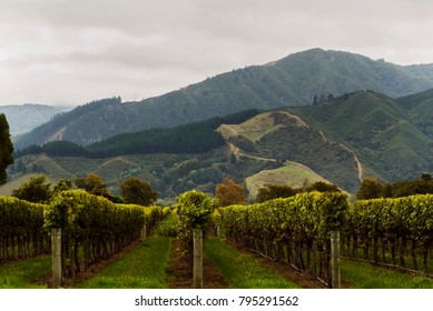 Rows on grape vines in rural vineyard with mountains in the background in the countryside of Blenheim, New Zealand.