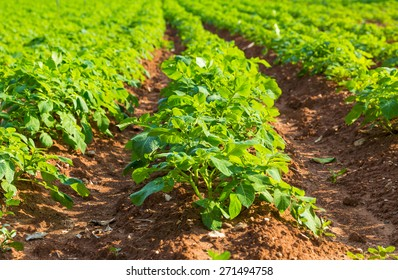 Rows on Potato field with green bushes