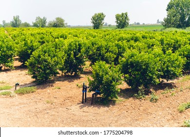Rows of orange trees (Citrus Chinensis) growing on fruit plantation farm or organic orchard watered by drip irrigation system in sunny hot dry Antalya weather. ANTALYA, TURKEY