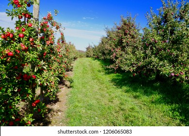 Rows of orchard trees with ripe red apples