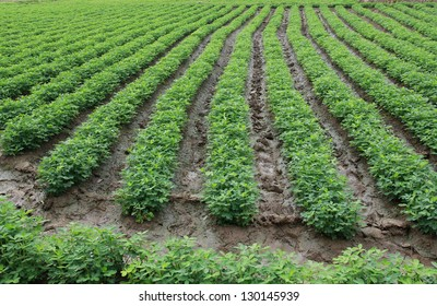 rows of peanut plants