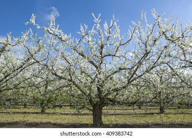 Rows of pear trees in blossom, Badajoz, Spain