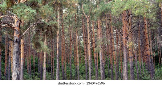 Rows of pine fir trees in a natural woodland setting with brown trunks and pine needle branches with nobody
