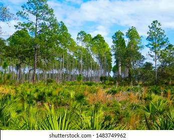 Rows of pine trees with palmettos in Faver Dykes State Park in Florida.