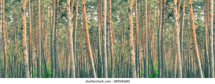Rows of pine-trees in a thick pine forest (retro style)