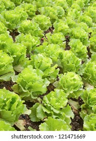 Rows of planted lettuce