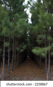 Rows of planted pines in Florida.