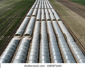 Rows of  plants growing inside big industrial greenhouse. Industrial agriculture.