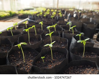 Rows of plastic bags which contains young seedlings sprout in each one
