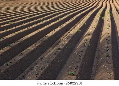 Rows in plowed potato field