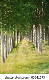 Rows of poplars in a plantation for paper making