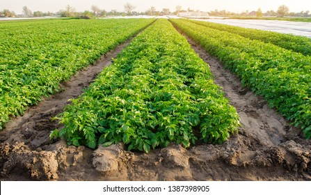 Rows of potatoes grow on the farm. Growing organic vegetables in the field. Farming. Agriculture. Selective focus