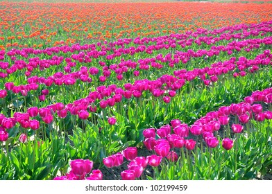 Rows of purple tulips with field of orange in the background