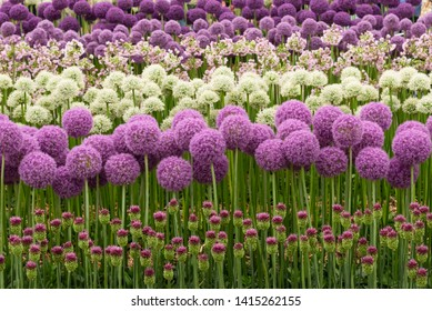 Rows of purple and white allium blooms in flower