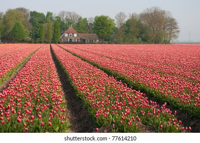 rows with red tulips in front of a farm-house