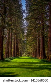 Rows of Redwood Trees Border a Path in the Woods