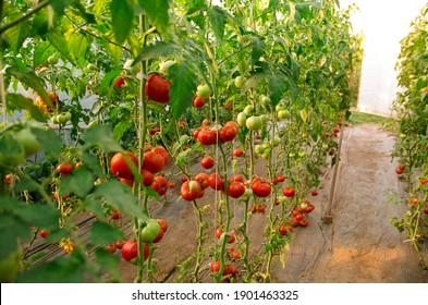 Rows of ripe tomatoes in greenhouse