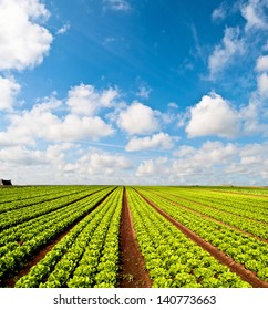 Rows of salad and a blue sky on a field in the Bretagne in France