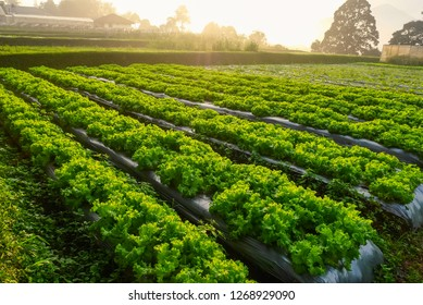 Rows of salad on a large agriculture field with sun photo