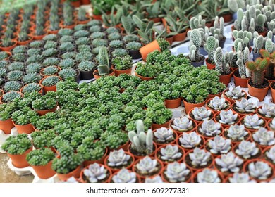 Rows of small flowers in pots in greenhouse. Nature background