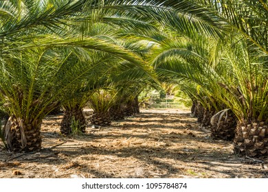Rows of small palm trees in a palm tree farm