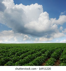 Rows of soy beans growing in South Dakota.
