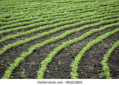 Rows of soybean plants (binomial name; Glycine max), some curved, late in spring, northern Illinois (selective focus, shallow depth of field)