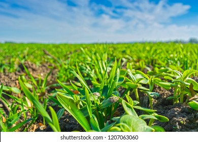 rows of sprung winter wheat on a field under a blue sky with clouds. sprouts last year's sunflower. The concept of herbicide protection