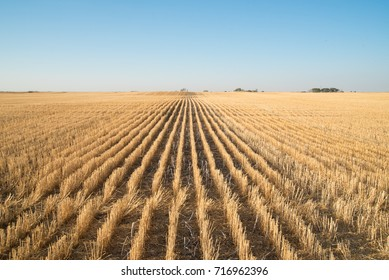 Rows of stubble in the fall after the wheat crop has been harvested